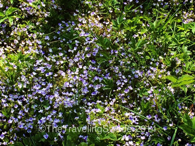 ...and pretty, tiny flowers. These are called 'forget me not' and you are never allowed to pick them as they are on the 'leave alone' list.