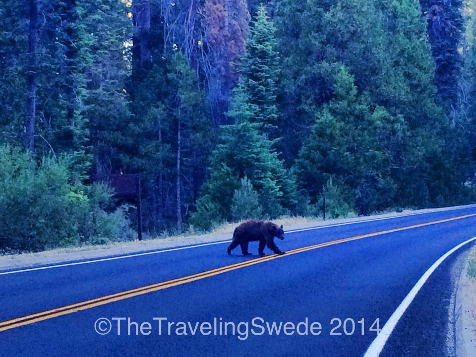 Hello bear!!! I really wanted to step out of the car but knowing how fast they can charge I was smart and took the photo through the windshield. Plus my rule is to never disturb wildlife, even for a photo.