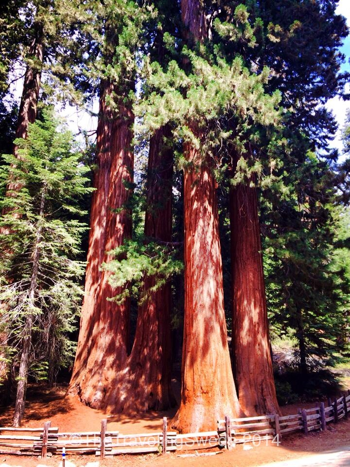 A groove of sequoia trees. Despite their size the root system only goes about 12-16 inches down but can span up to an acre. Many of the areas are fenced off to protect the root system close to the trees.