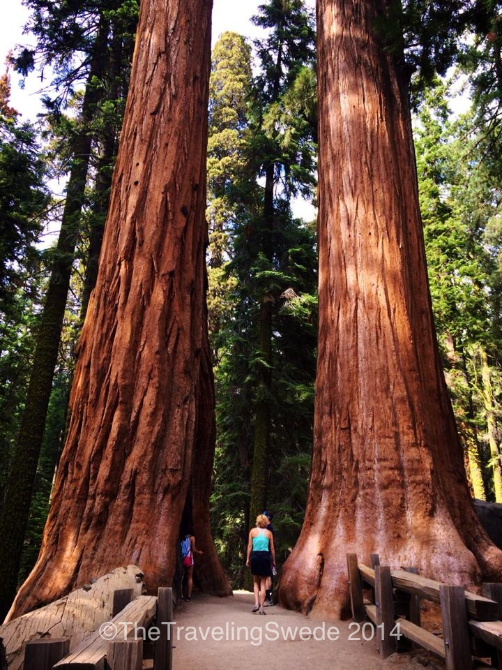 A great representation of how big these trees are. Not only is this person tiny compared to the trees but I could only get half the trees in the picture.