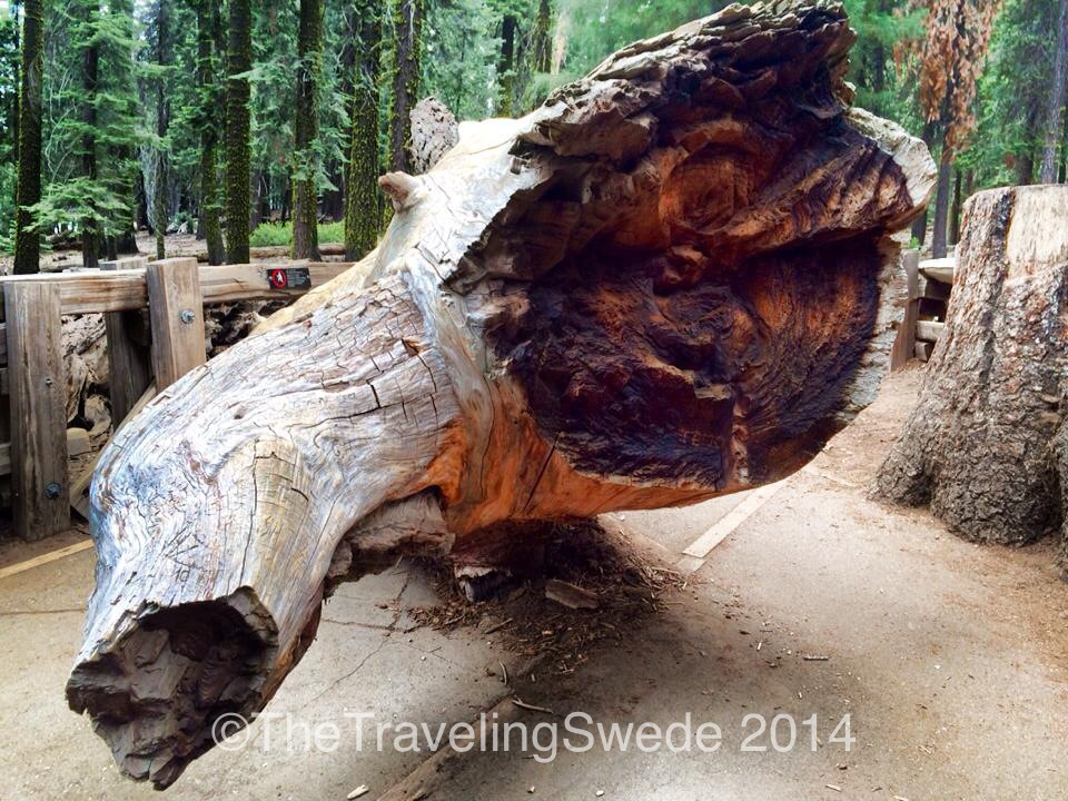 This is a broken branch that fell off General Sherman. Luckily it happened during the night. The branches are the diameter of a normal tree.